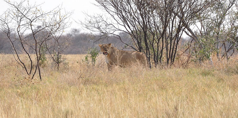 Lioness in tall grasses